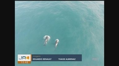 Pesquisadores registram interação inédita entre orcas e baleias-franca em Imbituba - Pesquisadores registram interação inédita entre orcas e baleias-franca em Imbituba