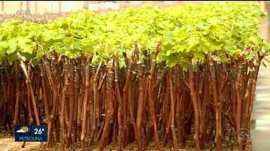 Procura por mudas de árvores frutíferas tem aumentado na região de Petrolina - Como é época de safra de algumas variedades de frutas, os produtores estão investindo em mudas tanto pra áreas novas, quanto pra refazer a plantação.