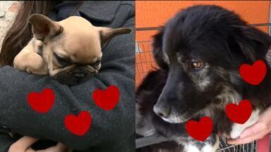Curitiba tem milhares de vira-latas pra adoção - Os cachorros que vivem em abrigos e Ong já vão pra adoção castrados. Você vai conhecer uma família que adotou 4 vira-latas