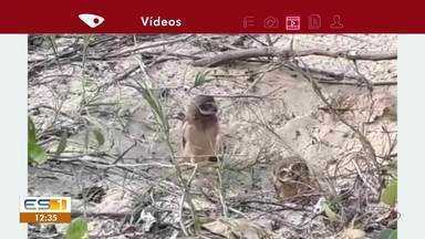 Corujas são registradas em vegetação de restinga em Vila Velha, ES - Imagens foram registradas pelo Warlem Gomes. Ele contou cinco corujas na praia da Itapuã e acha que algumas são filhotes.