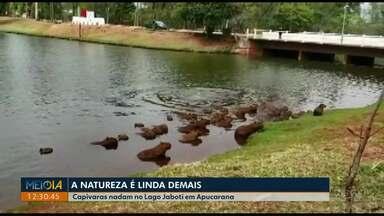 Telespectador registra capivaras nadando no Lago Jaboti, em Apucarana - Cerca de 30 animais estavam no local.