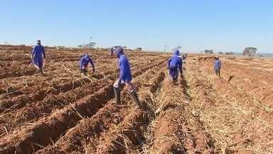 Usinas retomam plantio manual de cana-de-açúcar - Estratégia é adotada em busca de uma maior produtividade.