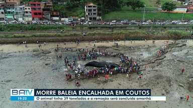 Equipe com 44 agentes atuam nas remoção de baleia que morreu encalhada em Salvador - Animal, que pesava cerca de 39 kg, encalhou na praia de Coutos, no subúrbio.