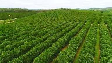 Laranjais crescem na região Sudoeste de SP - Na Fazenda onde Júnior Valério Matricarde é administrador, em São Miguel Arcanjo, os pés de laranja ocupam quase 500 hectares. São 200 mil árvores de 5 variedades.