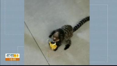 Macaco entra em padaria de Cachoeiro de Itapemirim, no sul do ES - O sagui-de-cara-branca ganhou um pedaço de banana.