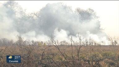 No pantanal rebanho não consegue escapar da queimada - Fazendeiros ainda não fizeram as contas dos prejuízos