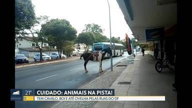 Cuidado: animais na pista! - Muitos animais de grande porte têm sido vistos em área urbana. Em alguns casos, os animais foram abandonados pelos donos. Quando vão para as pistas, o perigo é de acidente.
