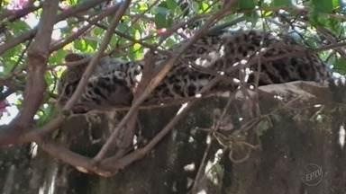 Moradores flagram jaguatirica descansando em muro de casa em Orlândia, SP - Corpo de Bombeiros teve trabalho para capturar animal.