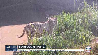 Tigre-de-bengala fêmea do Zoo de Brasília morre - Animal passou por cinco cirurgias, mas não resistiu.