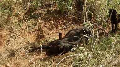 Morte de potros preocupa criadores de cavalo no Norte de MG - Animais apresentaram os mesmo sintomas, segundo criador.