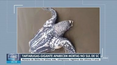 Mortes de tartarugas-gigantes preocupam pesquisadores do Sul de Santa Catarina - Mortes de tartarugas-gigantes preocupam pesquisadores do Sul de Santa Catarina