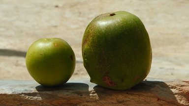 Encontro discute estratégias para produção de umbú gigante no sudoeste do estado - Agricultores aprenderam como plantar a variedade da fruta, que é típica do sertão nordestino.