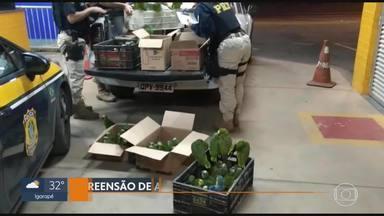 Homem é preso com mais de 160 papagaios na BR-040, diz PRF - Papagaios e uma arara azul estavam em caminhonete, abordada por policiais em Sete Lagoas. Esta é a terceira vez que suspeito é detido pela PRF neste ano.