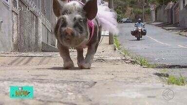 TV Bicho: família adota porquinha de estimação - Confira a rotina e os cuidados especiais da Penélope de quase 1 ano: ela é uma mistura de raças e é considerada mini; a porquinha pesa cerca de 40 kg.