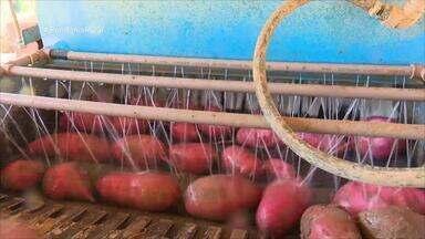Parte 1: Agricultor aposta na rotação de cultura para controlar fungo em batata doce - Confira as informações da semana no Boletim de Notícias.