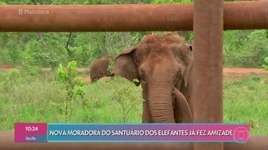 Elefanta Ramba se adapta à nova vida no santuário dos elefantes na Chapada dos Guimarães - Animal tem 53 anos e foi resgatada no Chile após denúncias de maus tratos. Agora, a nova moradora já começa a se adaptar e fazer novas amizades