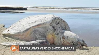 Em perigo de extinção, 29 tartarugas-verdes são encontradas no Litoral Sul - Os animais foram encaminhados vivos para o Centro de Recuperação de Animais Marinhos (Cram).