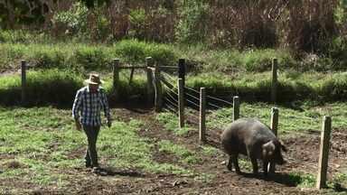 Pesquisa paranaense estimula produtor a criar porcos da raça Moura - Os animais têm manejo fácil, ficam soltos na propriedade e se alimentam de produtos orgânicos