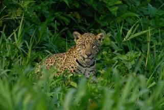 Confira o Terra da Gente na íntegra (02/11) - Observação de onças no Pantanal, soltura de peixe ameaçado e receita de boteco são destaques.