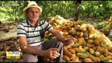 Pará retoma liderança na produção cacaueira do Brasil - Pará retoma liderança na produção cacaueira do Brasil