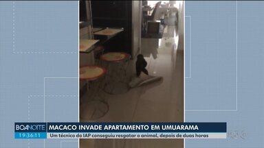 Macaco invade apartamento em Umuarama - Um técnico do IAP conseguiu resgatar o animal, depois de duas horas.