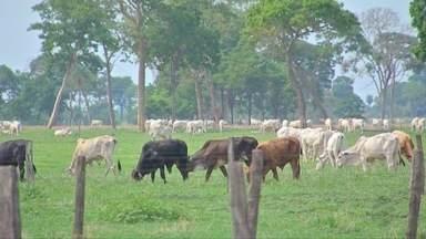Bovinos e Bubalinos imunizados - Pecuaristas de Mato Grosso começam a segunda etapa da vacinação contra a febre aftosa.