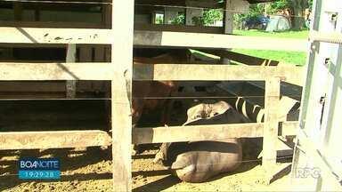 Boi é furtado do campus da Unicentro em Guarapuava - O animal ajudava os estudantes no desenvolvimento de pesquisas.