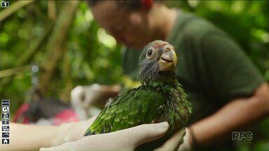 Papagaio da cara roxa ameaçado de extinção tem protetores na Mata Atlântica - Uma equipe montou ninhos para os pássaros se reproduzirem.