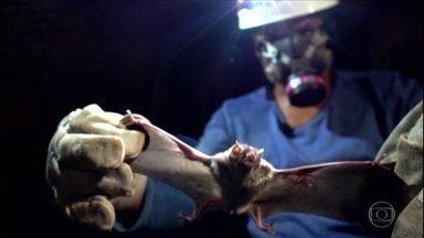 Ataques de morcegos preocupam criadores de gado em Goiás - Animais podem transmitir o vírus da raiva nos bovinos e a Defesa Agropecuária do estado age para combater o problema.