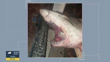 Confira os principais destaques do G1 Santos - Tubarão de 150 kg é capturado 'sem querer' e surpreende grupo em Guarujá.