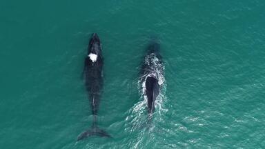 Fantástico mostra como as baleias jubarte quase foram exterminadas e ressurgiram no Brasil - undefined