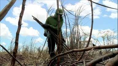 Produção de cana em Alagoas volta a crescer após anos de prejuízos - Estado é o principal produtor do Nordeste e gera mais de 40 mil empregos diretos.