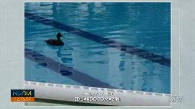 Pato vai parar dentro de piscina em condomínio - Situação foi em Londrina nessa quarta-feira (27).