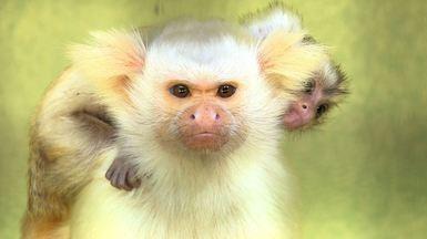 Primatas do Brasil - Centro de Primatologia do Rio de Janeiro estuda espécies ameaçadas.