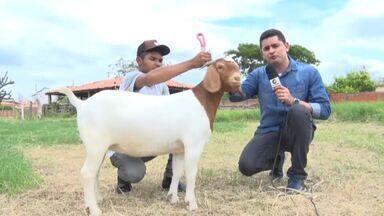 Expoapi recebe caprinos com melhoramento genético do Sul do Piauí - Expoapi recebe animas com melhoramento genético do Sul do Piauí