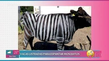Fazendeiros japoneses pintam vacas para espantar mosquitos - E na Rússia, os criadores estão usando óculos de realidade aumentada para que as vacas não diminuam a produção de leite no inverno