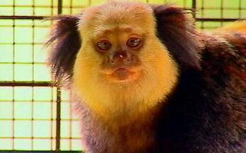 O mundo dos macacos - Nenhum bicho é tão parecido com os seres humanos quanto os macacos. Assim como nós, eles são mamíferos, primatas, e vivem em sociedades muito semelhante às nossas.