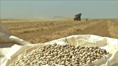 Produção de feijão sofre com o clima; tipo carioca fica quase 30% mais caro - Preço do feijão superou o índice de inflação dos alimentos, de 2,38%. O feijão preto, por exemplo, teve uma alta de 6%; tipo mulatinho, 16%.