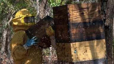 Acácias revolucionam o cenário da Serra do Roncador com produção de mel orgânico - Árvores foram plantadas em fazenda para recuperar área degradada: madeira seria vendida para fabricação de móveis e folhas para ração do gado. Mas as abelhas se atraíram pelo néctar e mudaram os planos.