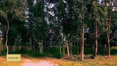 Produção de eucalipto em Sergipe vem crescendo - Em um ano, a área plantada no estado cresceu mais de 70%. É uma atividade que exige pouco investimento inicial e tem garantido um bom retorno.