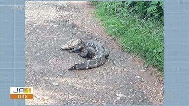 Jacaré é encontrado morto no perímetro urbano da BR-153 em Gurupi - Jacaré é encontrado morto no perímetro urbano da BR-153 em Gurupi