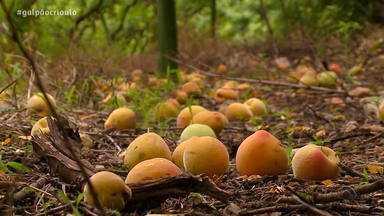 Excesso de chuva no fim do inverno resulta em uma baixa na safra de pêssego em 2019 - Consequência é o aumento no preço de produtos com a fruta.