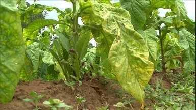 Mau tempo faz 16 mil produtores registrarem perdas nas lavouras de tabaco - Ainda assim, a previsão é que sejam colhidas 270 mil toneladas de tabaco somente no Rio Grande do Sul. Na safra passada, a produção chegou a 320 mil.