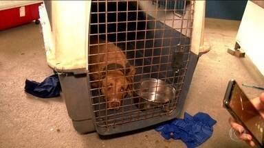 Polícia Civil prende 41 pessoas em uma rinha de cães no interior de São Paulo - Nas buscas, os policiais encontraram 23 pitbulls. Segundo a investigação, os animais eram usados em uma competição internacional.