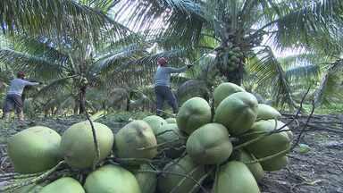 Da plantação à extração de derivados, saiba como é a produção de coco na Bahia - A cada ano, plantações e produção ficam cheias de inovações e requintes.