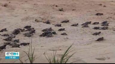 Soltura de tartarugas marinhas vira atração em Anchieta, ES - Isso foi na Praia de Guanabara, no último domingo.