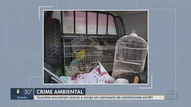 Dois homens são presos por crime ambiental em BH - Eles foram encontrados, pela guarda municipal, com araras e coruja dentro da carroceria de uma caminhonete.