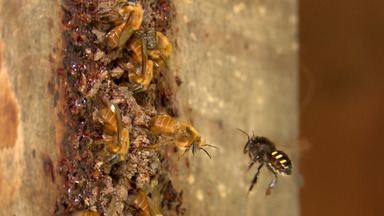 Pesquisadores desenvolvem antídoto que protege abelhas e colmeias de pragas - Estudo da Universidade Estadual do Sudoeste da Bahia vai ajudar a agricultura da região.