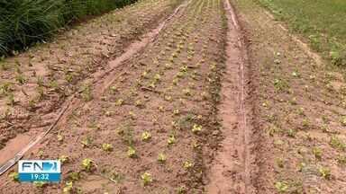 Chuva afeta produção de hortaliças na região de Presidente Prudente - Consumidor já pode perceber o impacto nas feiras e nos supermercados.