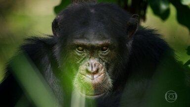 Dinastias: chimpanzé luta pela sobrevivência na natureza selvagem - A novela da vida animal do Fantástico agora entra numa fase de muita ação: você vai ver a luta de um chimpanzé para manter sua dinastia.